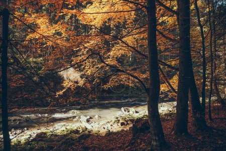 Photo for Mountain river in autumnal forest, Carpathians, Ukraine - Royalty Free Image