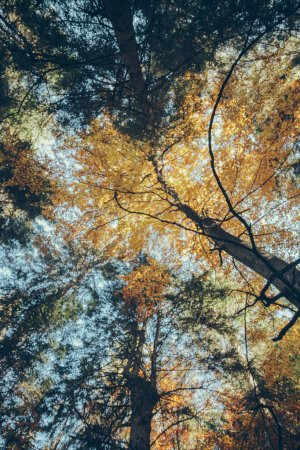 bottom view of autumnal forest in front of blue sky, Carpathians, Ukraine