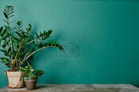 Plants in flowerpots on dusty table on green background