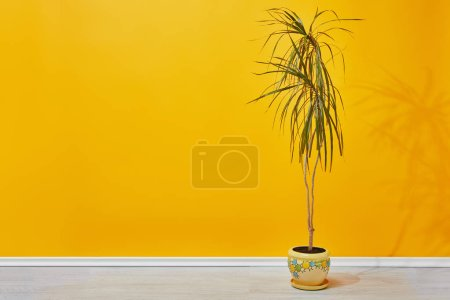 green houseplant in flowerpot near yellow wall