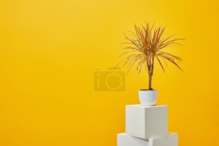 Houseplant in flowerpot on plaster cubes isolated on yellow