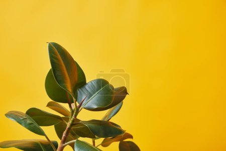 Photo for Close up of green ficus leaves isolated on yellow - Royalty Free Image
