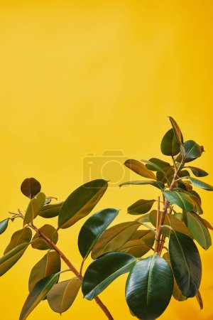 Photo for Close up of ficus leaves on yellow background - Royalty Free Image