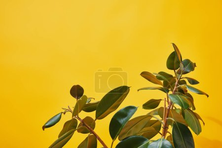 Photo for Close up of green ficus leaves on yellow background - Royalty Free Image