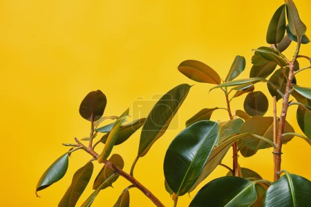 Photo for Close up of ficus green leaves isolated on yellow - Royalty Free Image