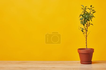 Plant in flowerpot at wooden table isolated on yellow