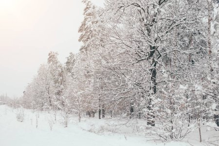 Photo for Scenic view of snowy trees with side lighting in winter forest - Royalty Free Image