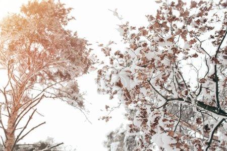 Photo pour Faible angle vue d'arbre enneigé dans la forêt d'hiver - image libre de droit