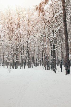Photo pour Vue panoramique des arbres enneigés en forêt d'hiver - image libre de droit