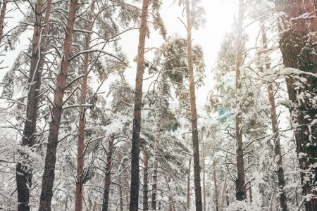 Scenic view of pine trees covered with snow in winter forest