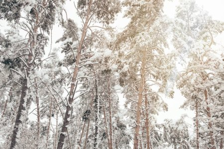 Low angle view of snowy pine trees in winter forest