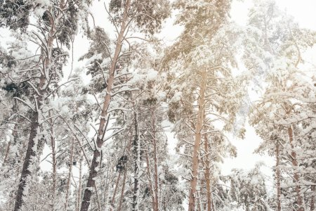Photo pour Vue faible angle de pins enneigés en forêt d'hiver - image libre de droit