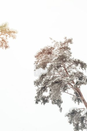 low angle view of snowy trees in winter forest