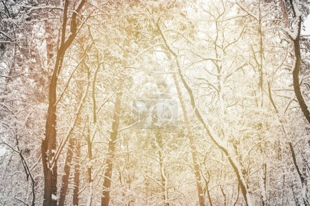 toned picture of snowy winter woods as background
