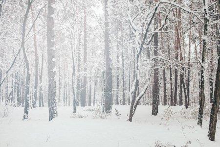 Photo pour Vue panoramique de la forêt belle hiver neigeux - image libre de droit