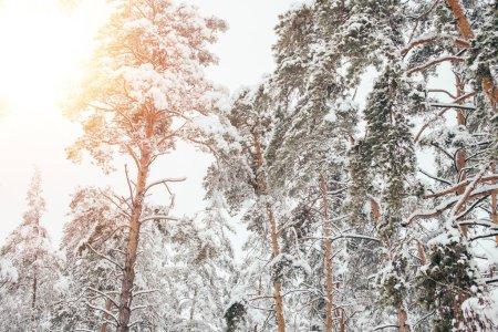 Photo pour Vue faible angle de forêt hiver neigeux et le soleil - image libre de droit