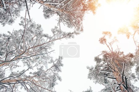 bottom view of trees covered with snow in beautiful winter woods and sunlight
