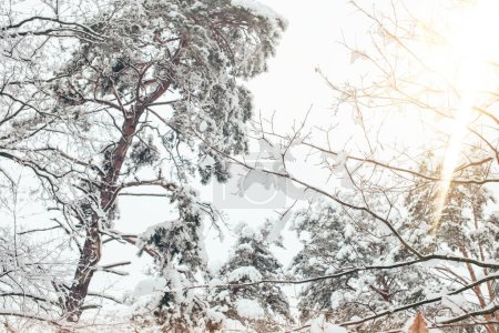 Photo pour Vue faible angle forêt hiver neigeux et éclairage - image libre de droit