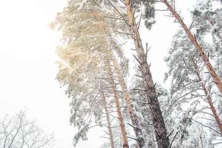 Low angle view of pine trees in snowy winter forest with sunlight