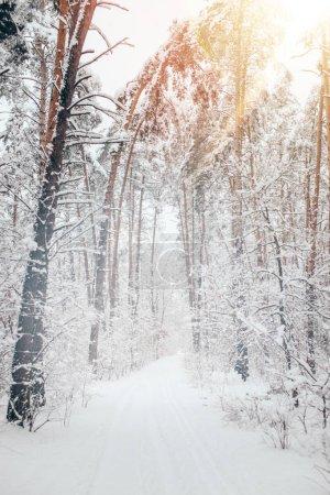 Photo pour Vue panoramique de la belle forêt enneigée d'hiver avec pins et lumière du soleil - image libre de droit