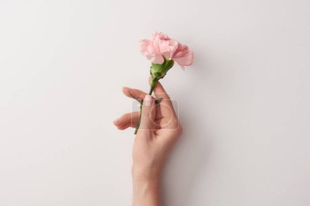 cropped shot of woman holding beautiful pink flower isolated on grey