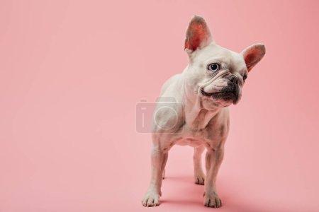Foto de Bulldog francés de color blanco con nariz oscura sobre fondo rosa - Imagen libre de derechos