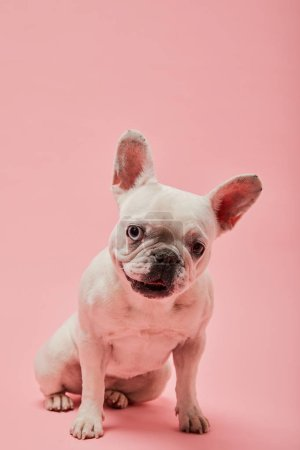Photo for French bulldog with dark nouse and mouth on pink background - Royalty Free Image