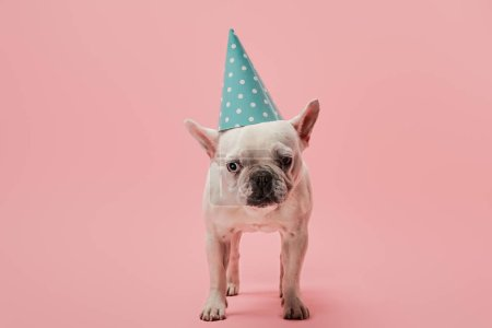Photo for French bulldog with blue birthday cap on pink background - Royalty Free Image