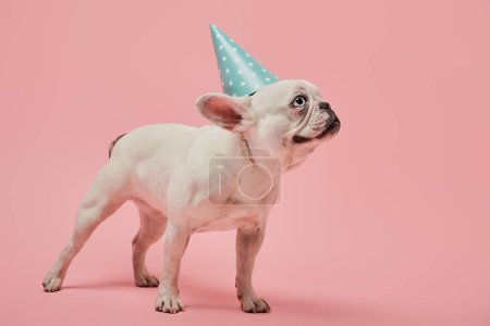 Photo for White french bulldog with dark nose and blue birthday cap on pink background - Royalty Free Image