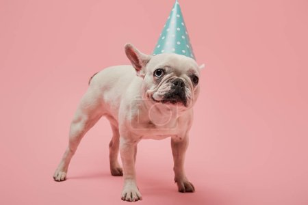Photo for White french bulldog in blue birthday cap on pink background - Royalty Free Image