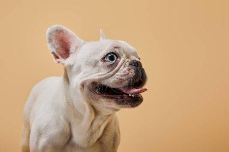 Photo pour Bouledogue français avec la nuisette foncée et la bouche sur fond beige - image libre de droit
