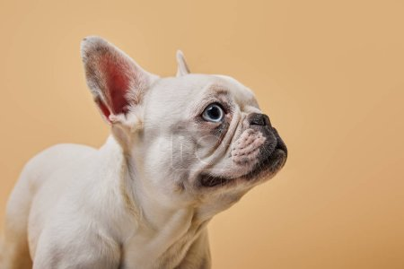 french bulldog with cute muzzle on beige background