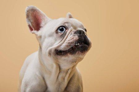Photo pour Tête de blanc bouledogue français sur fond beige - image libre de droit