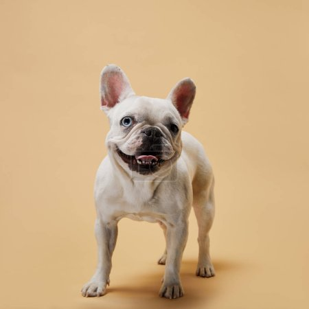 white french bulldog with dark nose and mouth on beige background