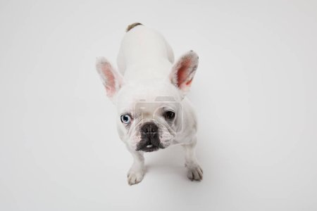 Französische Bulldogge mit dunkler Nase auf weißem Hintergrund