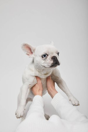 cropped view of female hands holding french bulldog on white background
