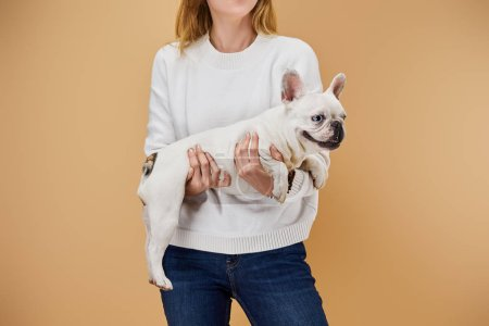 cropped view of woman in white sweater and blue jeans holding french bulldog on beige background