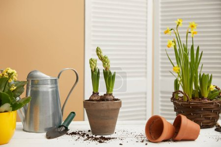 daffodils in braided flowerpot and hyacinth with watering can