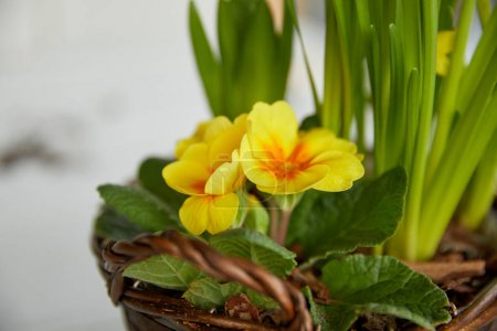 close up yellow flowers with green leaves in braided pot