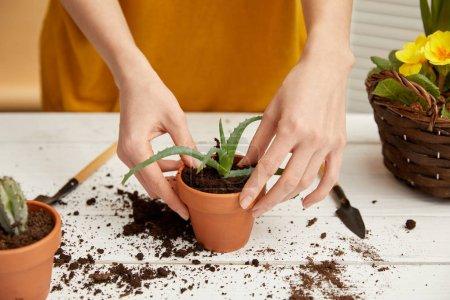 partial view of gardener in sweater planting aloe in flowerpot