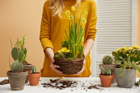 partial view of woman in sweater holding daffodils
