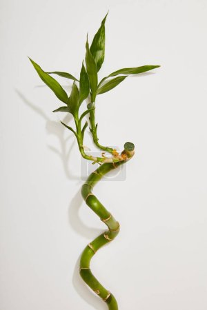 Photo for Top view of green bamboo stem with leaves on white background - Royalty Free Image