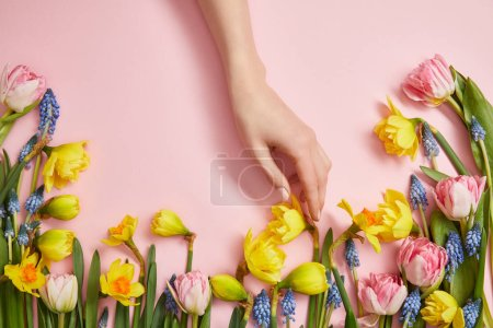 cropped view of female hand, fresh pink tulips, blue hyacinths and yellow daffodils on pink