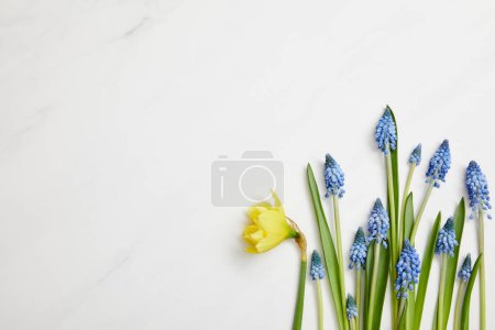 top view of fresh yellow narcissus and blue hyacinths on white background with copy space