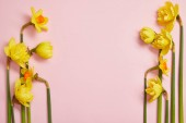 top view of beautiful yellow daffodils on pink background with copy space