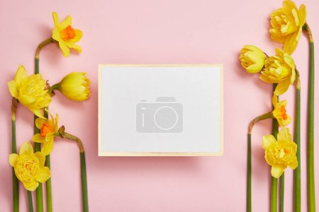 top view of white empty card and beautiful yellow daffodils on pink background
