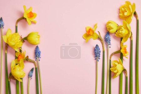 Foto de Vista superior de hermoso azul jacintos y narcisos amarillos sobre fondo rosa con espacio de copia - Imagen libre de derechos