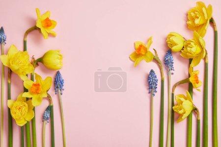 Photo pour Vue de dessus de belles jacinthes bleues et jonquilles jaunes sur fond rose avec espace de copie - image libre de droit