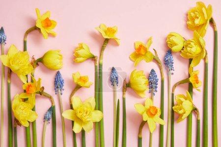 Photo pour Vue de dessus de belles jacinthes bleues et jaunes jonquilles rose - image libre de droit