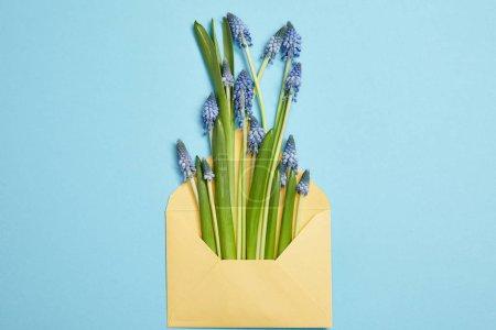 Photo pour Vue de dessus de belles jacinthes bleues dans l'enveloppe jaune sur bleu - image libre de droit